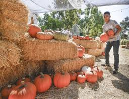 Pumpkin Picking In Ct by Pumpkins Spice Up Local Park For Halloween Campus Times