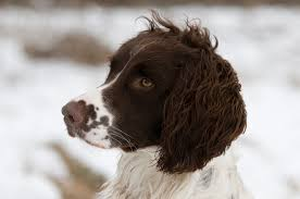 Springer Spaniel Shed Hunting by What Is The Best Dog Food For A Sporting Dog Dog Food Guru