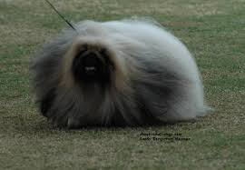 Hypoallergenic Non Shedding Small Dog Breeds by Pekingese