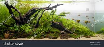 Aqua Scape Nature Aquarium Plant Fish Stock Photo 665323012 ... Aquascape Designs For Your Aquarium Room Fniture Ideas Aquascaping Articles Tutorials Videos The Green Machine Blog Of The Month August 2009 Wakrubau Aquascaping World Planted Tank Contest Design Awards Awesome A Moss Experiment Driftwood Sale Mzanita Pieces Two Gardens By Laszlo Kiss Mini Youtube Warsciowestronytop