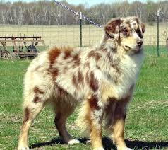 Non Shedding Husky Cross by What Do You Get When A Husky And An Australian Shepherd Reproduce