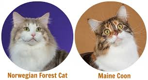 forest cat vs maine coon feline 101 the forest cat the smart living network