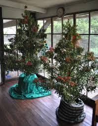 Christmas Tree Species Usa by Philippine Indigenous Plants Cainta Plant Nursery