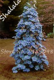 Christmas Tree Saplings Ireland by High Quality Wholesale Clematis Vine Seeds From China Clematis