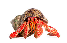 Do Hermit Crabs Shed Their Legs by Hermit Crabs