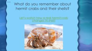 Do Hermit Crabs Shed by 100 Do Hermit Crabs Shed Their Whole Body This Hermit Crab
