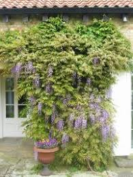 planting wisteria in a pot how and when to prune wisteria plantadvice co uk