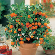 Christmas Tree Saplings For Sale Uk by Cheap Dwarf Patio Fruit Trees For Sale Buy A Miniature Fruit