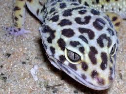Do Leopard Geckos Shed by Care Sheet For Leopard Gecko Pogona Vitticeps