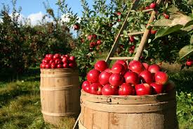 Best Pumpkin Apple Picking Long Island Ny by Where To Pick Your Own Apples On Long Island