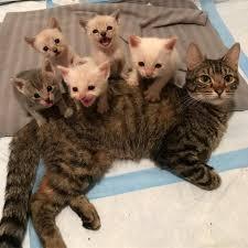 cat wont eat cat won t eat until kittens are safe catman