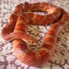 Corn Snake Shedding Time by Classic Or Possibly Hypo Cornsnake Children Of The Cornsnake