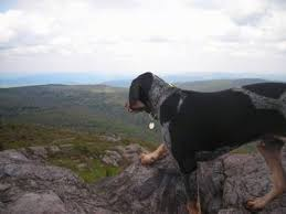 Do Bluetick Coonhounds Shed by Bluetick Coonhound Dog Breed Information And Pictures