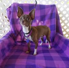 100 Where Is Chihuahua Located Livia Is 75 Lbs 4 Years Old And Wants Texas