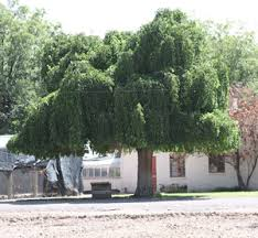 Weeping Mulberry Trees