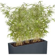 entretien des bambous en pot entretien des bambous en pots conseils bambous leaderplant