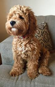 Cavapoos Do They Shed by 25 Best Dogs Images On Pinterest Animals Cockapoo Puppies