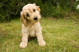 10 things that you should know about the cockapoo