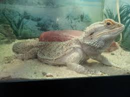 Bearded Dragon Shedding In Patches by Bearded Dragon Feeding Time Videos