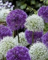 78 best flowers allium images on flower beds allium