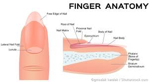 Infected Fingernail Bed by What Are Nail Fold Infections Paronychia