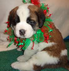 Do Smooth Coat St Bernards Shed by Saint Bernard Puppies For Sale