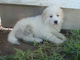 Guard Dogs That Dont Shed by Golden Pyrenees Golden Retriever Great Pyrenees Mix Temperament