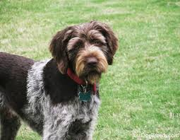 German Wirehaired Pointer Shedding by Gunner German Wirehaired Pointer Dog Breeds