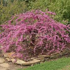 Traveller Weeping Redbud Buy Online Best Prices