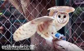 A Beautiful Barn Owl Rescue - Wildlife Friends Foundation Thailand Owls Loft Barn Owl Projects Warren Photographic Owls Snowy Saw Whets Watching Out For Part 1 The Official Blog The Molly Corfield Habichatter Twitter Australian Masked Owl Tyto Novhollandiae Birdsstrigiformes Tonys Desk Innovative Ipdent Informed Blog Natureslens By Jaewoon U On 500px Spirito Barbagianni Crafts Mobile Trust Injured Barn Rescued Wildlife Friends Foundation Thailand 13 Best Images Pinterest Cotswolds