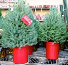 Balsam Christmas Tree Care by The Farmer Fred Rant Choosing Living Christmas Trees