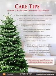 Balsam Christmas Tree Care by Xmas Tree Care Tips Jpg