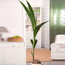 kokospalme im ca 19 cm topf