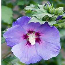 buy cheap hibiscus oiseau blue cheap of