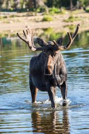 Bull Moose Shedding Antlers by 71 Best Moose Images On Pinterest Wild Animals Animals And