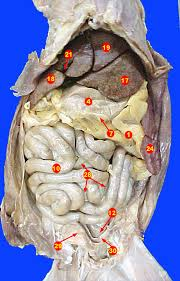 cat digestive system cat digestive system abdomen greater omentum tucked stomach