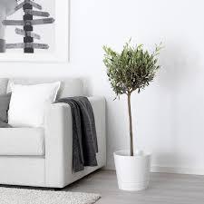 olea europaea pflanze olivenbaum stamm 22 cm