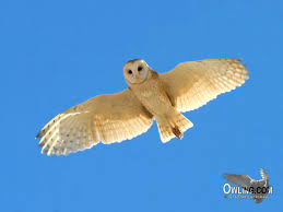 Barn Owl Biology - Owling.com Barn Owl Box Company Wildlife San Francisco Forest Alliance Food Lodging Owls See A Housing Boom In Walla Washington Audubon Best 25 Owls Ideas On Pinterest Beautiful Owl And Utah Nest Box 2 Youtube There Is Always One That Ruins Family Picture Trio Family Ties Chicks Let Their Hungry Siblings Eat First Texas 2017 Update All About Birds Bring Up Baby How Barn Do It Help Clean Up Rodents Naturally Green Blog Anr Blogs