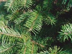 What Is The Best Christmas Tree Variety by Choosing A Christmas Tree