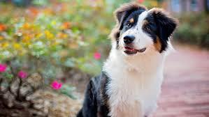 le berger pas cher le berger australien un chien femme actuelle