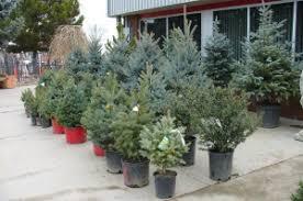 Plantable Christmas Trees For Sale by Paulino Gardens Live Christmas Trees Denver Colorado