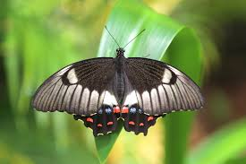 100 Butterfly House Melbourne Papilio Aegeus Wikipedia