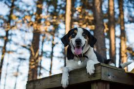 Do Treeing Walker Coonhounds Shed by Advanced Training Tips For Stopping Leash Aggression Victoria