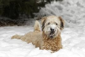 Do Wheaten Terrier Puppies Shed by Wheaten Terrier Temperament U0026 Personality