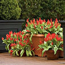 planting bulbs in containers planting bulbs bulbs and planting