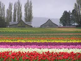 mount vernon wa tulip town barns 2006 photo picture image