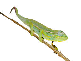 Basking Lamp For Chameleon by Elliots Chameleon For Sale Reptiles For Sale