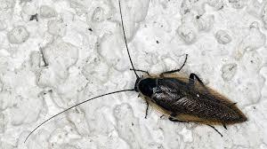 waldschaben in der wohnung oft mit kakerlaken verwechselt