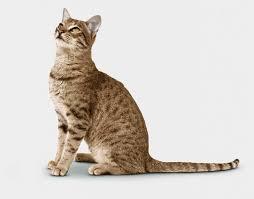 shorthair cat price best 25 cat price ideas on bengal cat