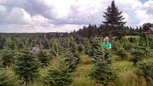 Fraser Fir Christmas Trees Kent by Christmas Trees And Holiday Wreaths
